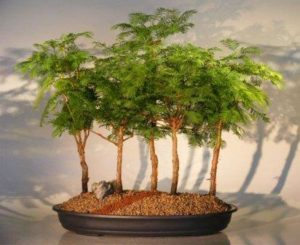 Sekwojowy las bonsai
